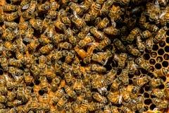 El enjambre de la abeja reina - foco selectivo Imagenes de archivo