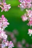 El enmarcar rosado de la flor Foto de archivo