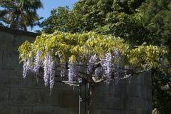 El enrejado de florecimiento de la glicinia rueda en jardín en luz del sol de la tarde imagen de archivo libre de regalías