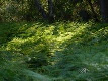 El entrar ligera en un bosque del helecho Fotos de archivo libres de regalías