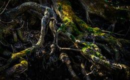 El entretejer de las raíces del árbol con el musgo Fotos de archivo libres de regalías