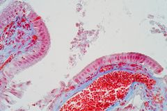 El epitelio acolumnado simple es un epitelio acolumnado que está uni- fotos de archivo