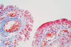 El epitelio acolumnado simple es un epitelio acolumnado que está uni- foto de archivo