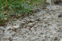 El equipo del grupo de las hormigas se mueve adelante para construir el hormiguero natural Foto de archivo