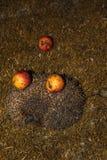 El erizo con las manzanas en sus agujas camina la hierba verde fotografía de archivo