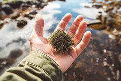 El erizo de mar está en la mano Ciérrese para arriba de espinas dorsales del erizo de mar con el mar en el fondo imagen de archivo libre de regalías