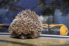 El erizo espinoso de Brown se sienta en la capilla del coche en el verano fotografía de archivo libre de regalías