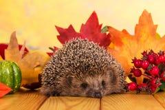 El erizo espinoso gris se sienta en la tabla de madera en las hojas de otoño del fondo imágenes de archivo libres de regalías