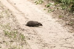 El erizo pasa el bosque día arenoso del camino imagen de archivo