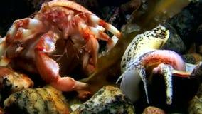 El ermitaño del cáncer come el submarino de la comida en el fondo del mar del mar blanco Rusia almacen de video