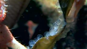 El ermitaño del cáncer subacuático en busca de la comida come el caviar en el fondo del mar del mar blanco metrajes