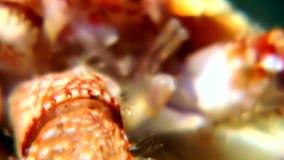 El ermitaño del cáncer subacuático en busca de la comida come el caviar en el fondo del mar del mar blanco almacen de video