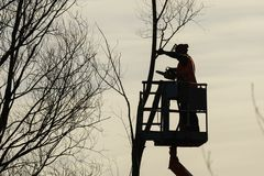 El escalador del árbol con vio y el arnés, leñador en el trabajo fotografía de archivo