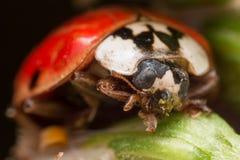 El escarabajo asiático con un punto limpia la cera verde de cara Fotos de archivo