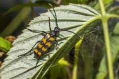 El escarabajo blackspotted de la ayuda de los alicates (mordax de Rhagium) Imagenes de archivo