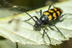 El escarabajo blackspotted de la ayuda de los alicates (mordax de Rhagium) Imagen de archivo libre de regalías