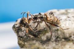 El escarabajo blackspotted de la ayuda de los alicates (mordax de Rhagium) Fotografía de archivo