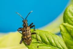 El escarabajo blackspotted de la ayuda de los alicates (Rhagium MES Imagen de archivo