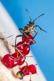 El escarabajo blackspotted de la ayuda de los alicates (Rhagium MES Imagen de archivo libre de regalías