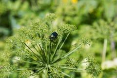 El escarabajo brillante se sienta en el paraguas del haber hogweed, Altai, Rusia imagenes de archivo