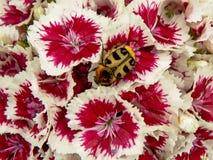 El escarabajo de abeja en un blanco y el puple Guillermo dulce florecen Fotos de archivo