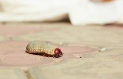 El escarabajo de la larva en el camino Imagen de archivo libre de regalías