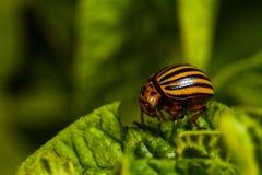 El escarabajo de la patata come las hojas de una patata Imagen de archivo libre de regalías