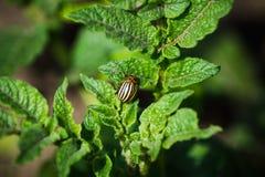 El escarabajo de la patata come las hojas de una patata Fotos de archivo