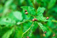 El escarabajo de la patata come las hojas de una patata Fotos de archivo libres de regalías