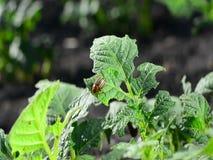 El escarabajo de la patata está subiendo sobre una hoja dañada de una planta metrajes