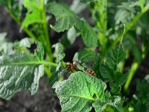 El escarabajo de la patata ocultó debajo de una hoja verde de una patata metrajes