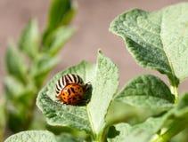 El escarabajo de la patata que toma el sol en la hoja de la patata Fotos de archivo libres de regalías