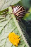 El escarabajo de la patata se arrastra cerca de los huevos amarillos en una hoja de patatas Fotografía de archivo libre de regalías