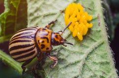 El escarabajo de la patata se arrastra cerca de los huevos amarillos en una hoja de patatas Imágenes de archivo libres de regalías