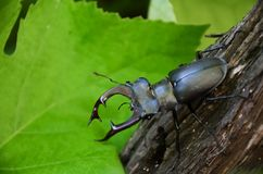 El escarabajo de los ciervos est? en el ?rbol Cervus de Lucanus imágenes de archivo libres de regalías