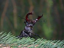 El escarabajo de macho amenaza Fotos de archivo libres de regalías