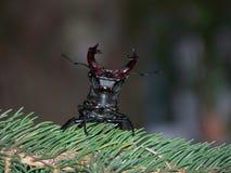 El escarabajo de macho amenaza Foto de archivo libre de regalías