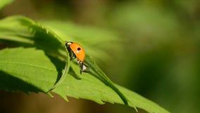 el escarabajo de mariquita Dos-manchado revela y dobla sus alas almacen de video