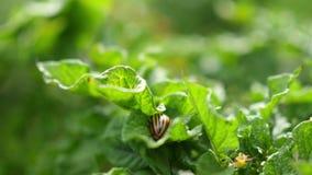 El escarabajo de patata de Colorado come las hojas de la patata almacen de metraje de vídeo
