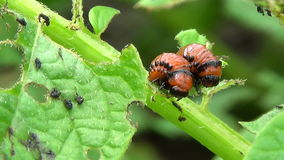El escarabajo de patata de Colorado come las patatas resbalador almacen de metraje de vídeo