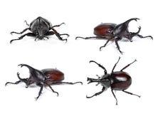 El escarabajo de rinoceronte masculino, escarabajo de Hércules, escarabajo del unicornio, cuerno sea fotos de archivo libres de regalías