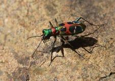El escarabajo de tigre chino Foto de archivo libre de regalías