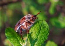 El escarabajo del abejorro se sienta en la hoja de la manzana Fotos de archivo