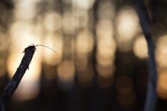 El escarabajo del fonolocalizador de bocinas grandes, aedilis de Acanthocinus en la madera Fotografía de archivo libre de regalías