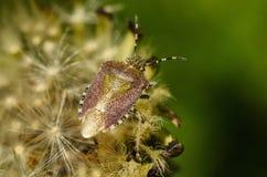 El escarabajo del hedor se sienta en el diente de león El chinche Imagen de archivo libre de regalías