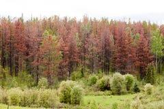 El escarabajo del pino de montaña mató al bosque del pino Imagen de archivo libre de regalías