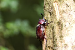 El escarabajo en Fraxinus chupa la savia Imagen de archivo libre de regalías