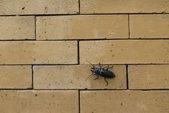 El escarabajo escala tranquilamente la pared de ladrillo imagenes de archivo