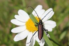 El escarabajo Mustachioed sube la cuchilla de la hierba fotos de archivo