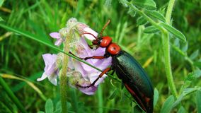 El escarabajo rojo está comiendo los pétalos de la flor imagen de archivo